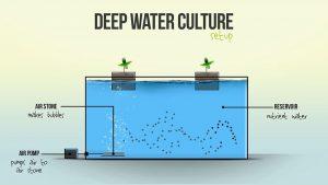 کشت هیدروپونیک  روش کشت عمیق آبی (Deep Water Culture)